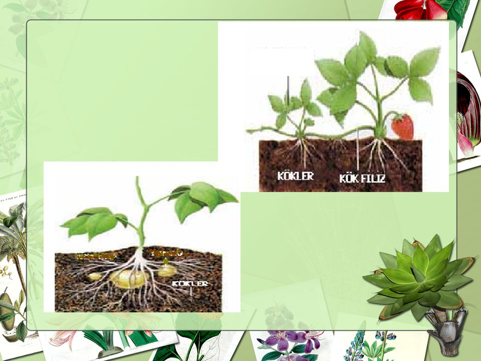 KÖK Gövdenin toprak altındaki uzantısıdır. Bitkiyi topra ğ a ba ğ lar ve dik tutar. Bitkinin ihtiyaç duydu ğ u su ve minerallerin topraktan alınmasını