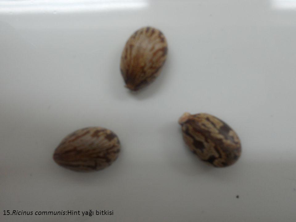 15.Ricinus communis:Hint yağı bitkisi