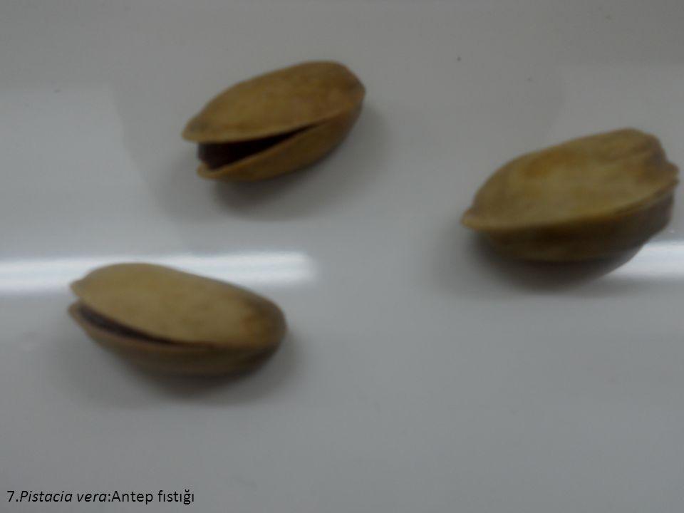 7.Pistacia vera:Antep fıstığı