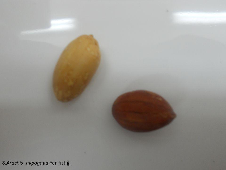 8.Arachis hypogaea:Yer fıstığı