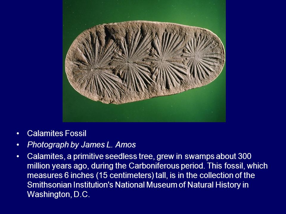 Calamites Fossil Photograph by James L. Amos Calamites, a primitive seedless tree, grew in swamps about 300 million years ago, during the Carboniferou