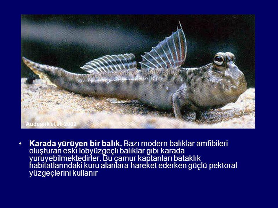 Karada yürüyen bir balık. Bazı modern balıklar amfibileri oluşturan eski lobyüzgeçli balıklar gibi karada yürüyebilmektedirler. Bu çamur kaptanları ba