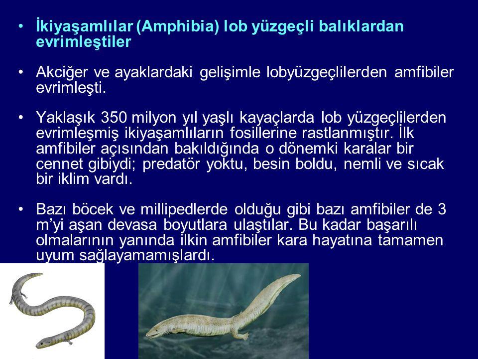 İkiyaşamlılar (Amphibia) lob yüzgeçli balıklardan evrimleştiler Akciğer ve ayaklardaki gelişimle lobyüzgeçlilerden amfibiler evrimleşti. Yaklaşık 350
