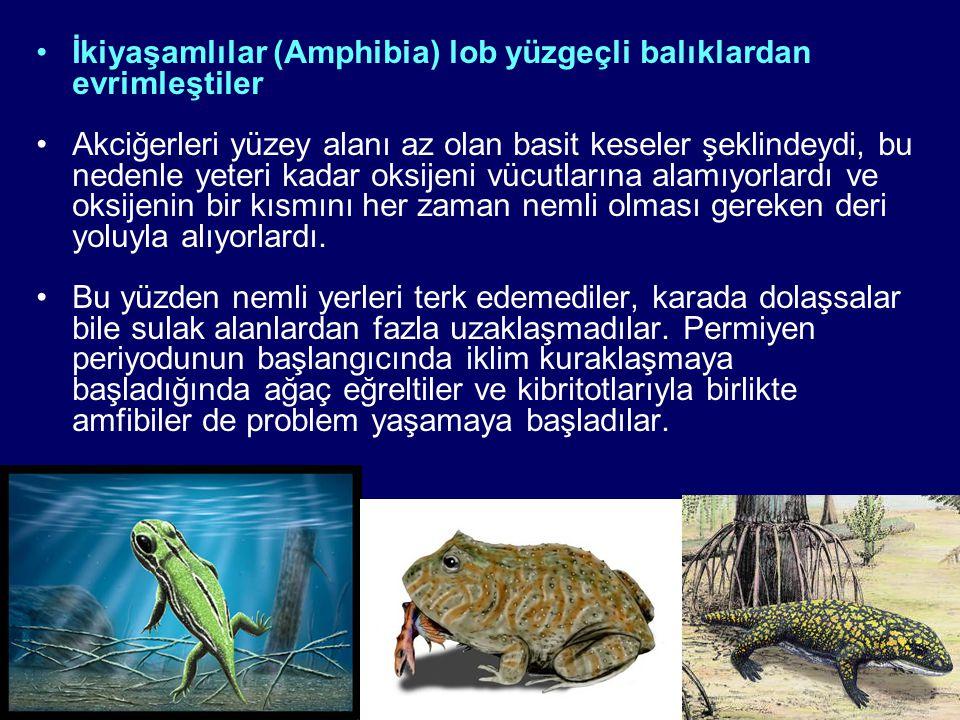 İkiyaşamlılar (Amphibia) lob yüzgeçli balıklardan evrimleştiler Akciğerleri yüzey alanı az olan basit keseler şeklindeydi, bu nedenle yeteri kadar oksijeni vücutlarına alamıyorlardı ve oksijenin bir kısmını her zaman nemli olması gereken deri yoluyla alıyorlardı.