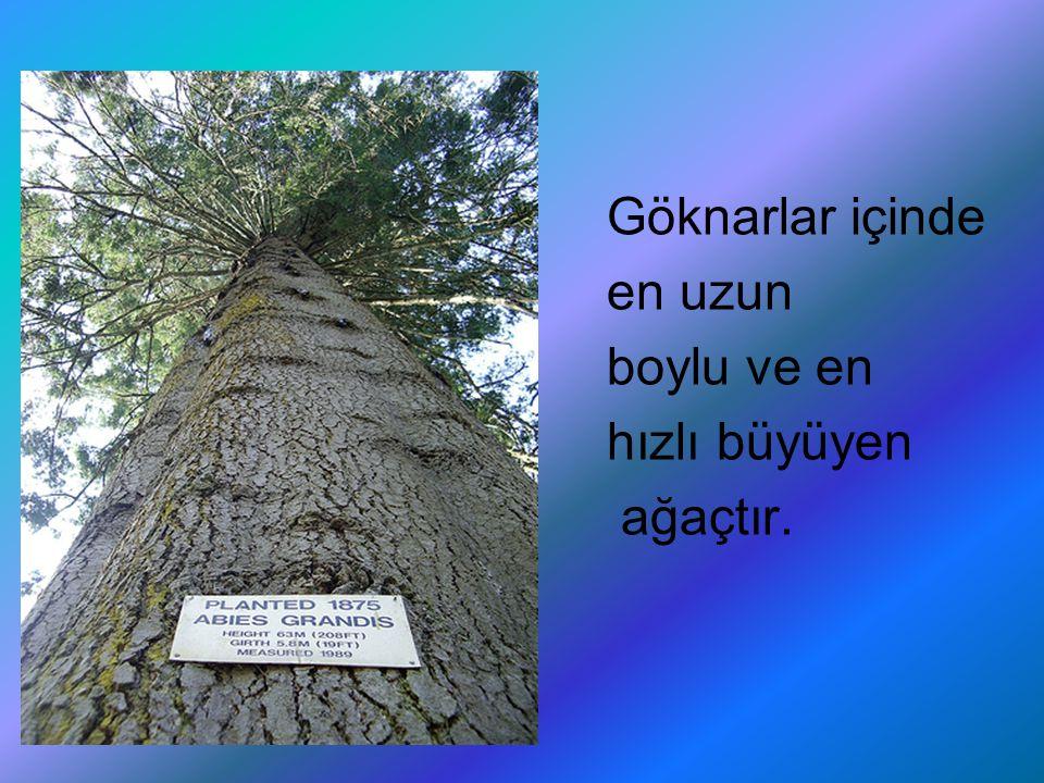 Göknarlar içinde en uzun boylu ve en hızlı büyüyen ağaçtır.