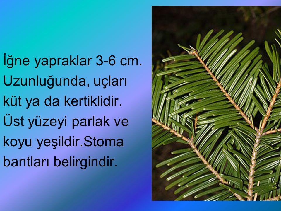 İğne yapraklar 3-6 cm. Uzunluğunda, uçları küt ya da kertiklidir. Üst yüzeyi parlak ve koyu yeşildir.Stoma bantları belirgindir.