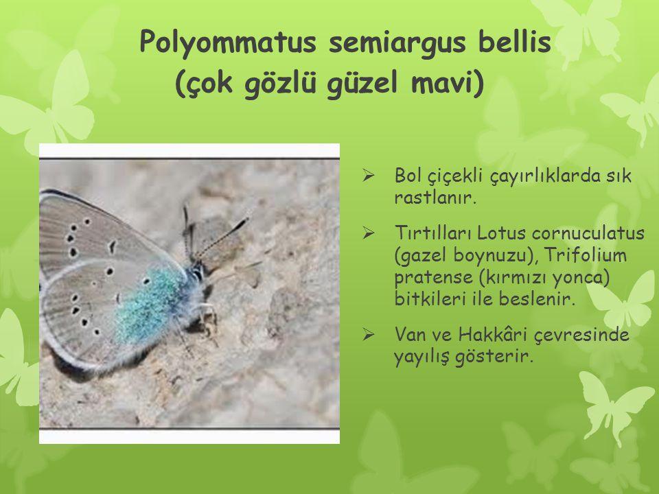 Polyommatus semiargus bellis (çok gözlü güzel mavi)  Bol çiçekli çayırlıklarda sık rastlanır.