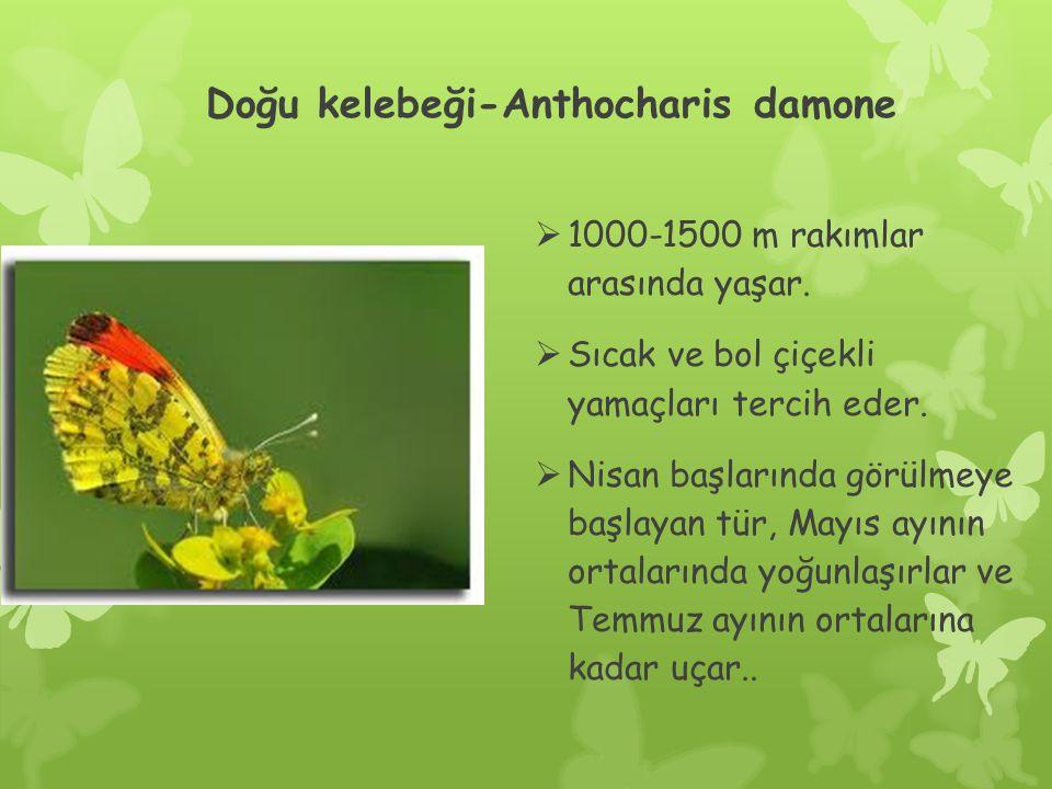 Doğu kelebeği-Anthocharis damone  1000-1500 m rakımlar arasında yaşar.