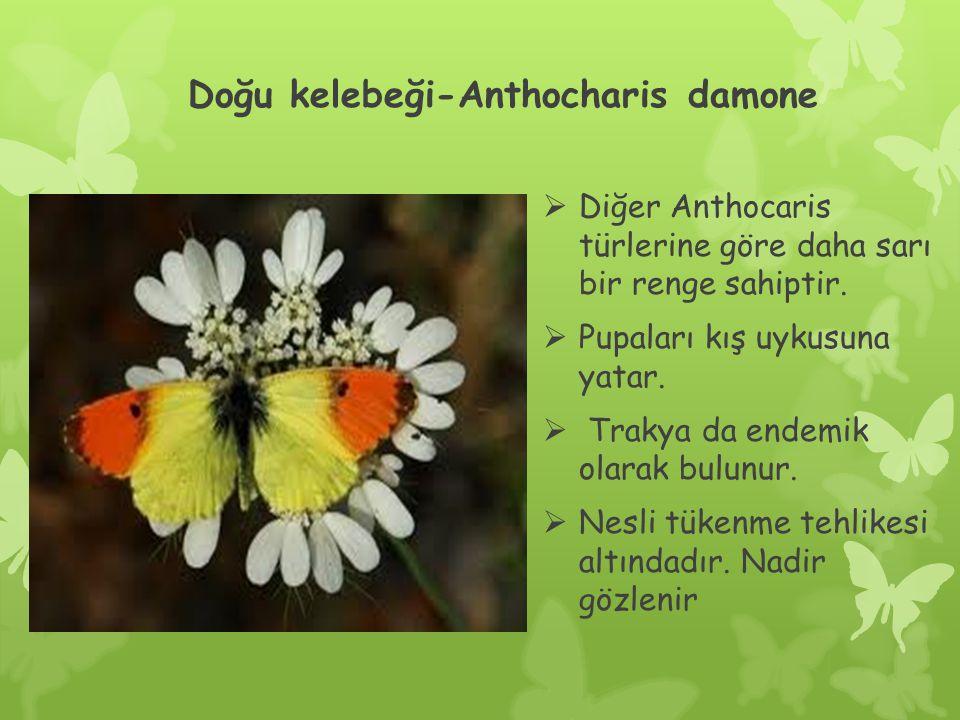Doğu kelebeği-Anthocharis damone  Diğer Anthocaris türlerine göre daha sarı bir renge sahiptir.
