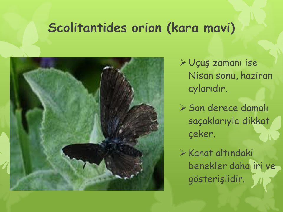 Scolitantides orion (kara mavi)  Uçuş zamanı ise Nisan sonu, haziran aylarıdır.