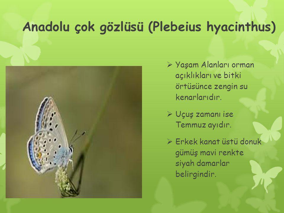 Anadolu çok gözlüsü (Plebeius hyacinthus)  Yaşam Alanları orman açıklıkları ve bitki örtüsünce zengin su kenarlarıdır.