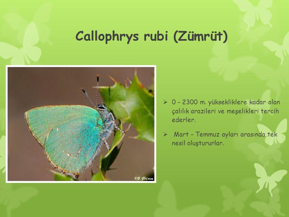 Callophrys rubi (Zümrüt)  0 - 2300 m.