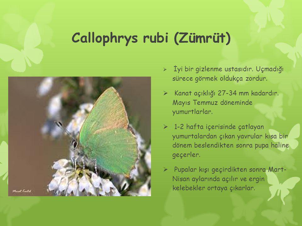 Callophrys rubi (Zümrüt)  İyi bir gizlenme ustasıdır.