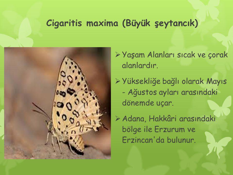 Cigaritis maxima (Büyük şeytancık)  Yaşam Alanları sıcak ve çorak alanlardır.