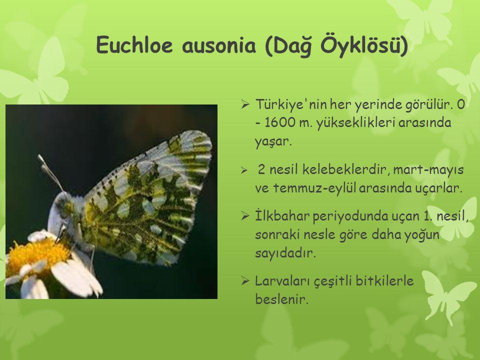Euchloe ausonia (Dağ Öyklösü)  Türkiye nin her yerinde görülür.