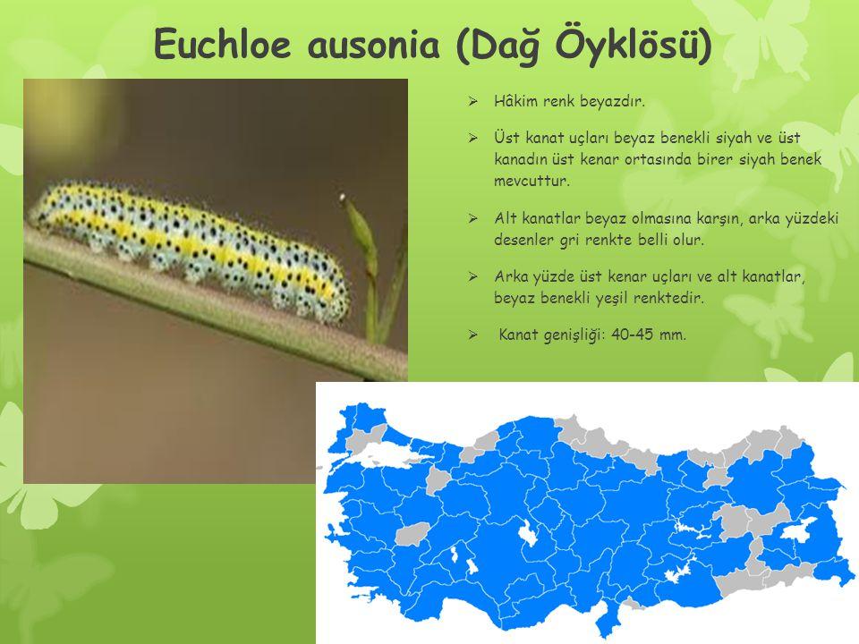 Euchloe ausonia (Dağ Öyklösü)  Hâkim renk beyazdır.
