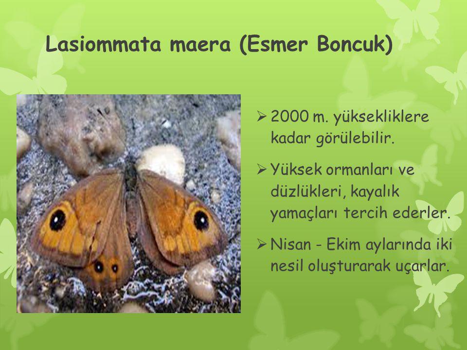 Lasiommata maera (Esmer Boncuk)  2000 m.yüksekliklere kadar görülebilir.