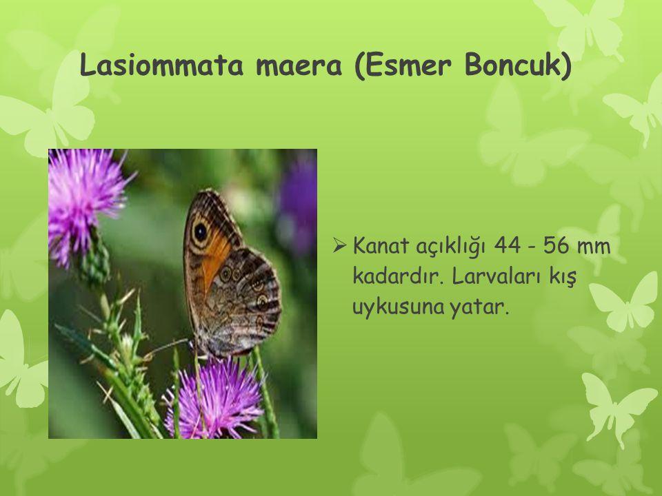 Lasiommata maera (Esmer Boncuk)  Kanat açıklığı 44 - 56 mm kadardır. Larvaları kış uykusuna yatar.