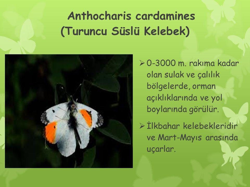 Anthocharis cardamines (Turuncu Süslü Kelebek)  0-3000 m.