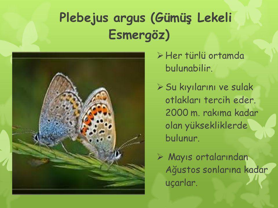 Plebejus argus (Gümüş Lekeli Esmergöz)  Her türlü ortamda bulunabilir.