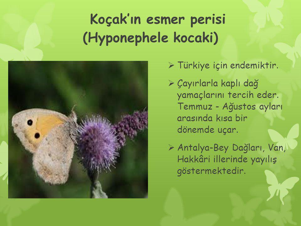 Koçak'ın esmer perisi (Hyponephele kocaki)  Türkiye için endemiktir.
