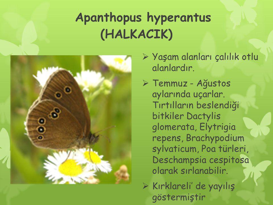 Apanthopus hyperantus (HALKACIK)  Yaşam alanları çalılık otlu alanlardır.