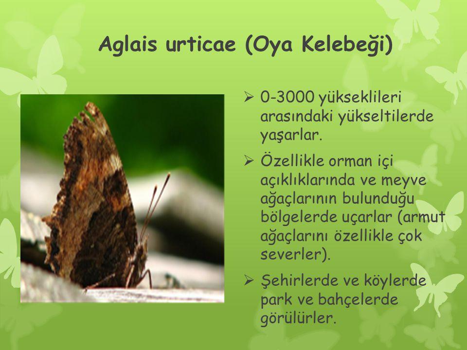 Aglais urticae (Oya Kelebeği)  0-3000 yükseklileri arasındaki yükseltilerde yaşarlar.