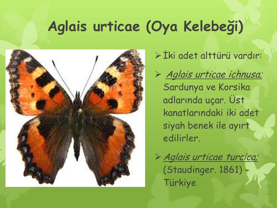 Aglais urticae (Oya Kelebeği)  İki adet alttürü vardır:  Aglais urticae ichnusa; Sardunya ve Korsika adlarında uçar.