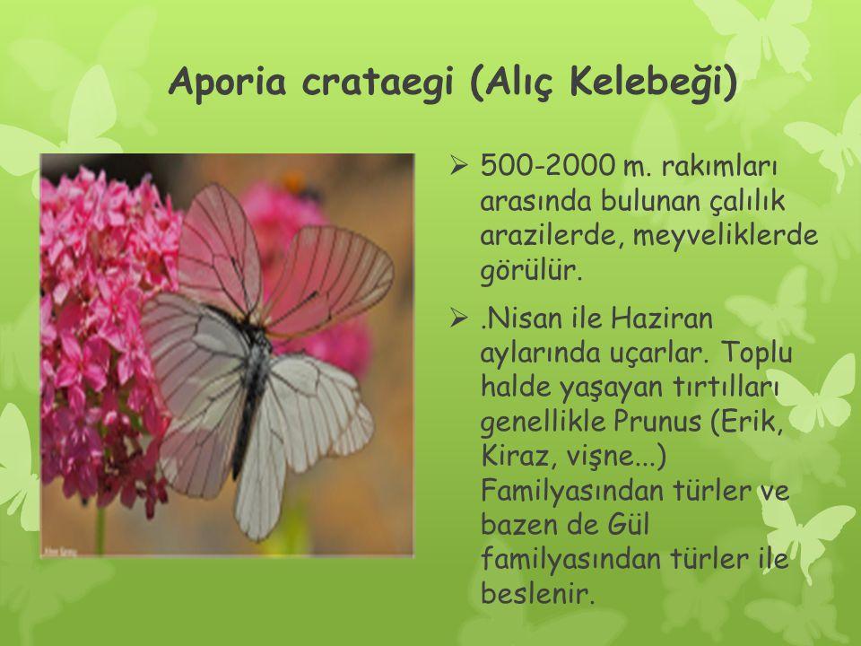 Aporia crataegi (Alıç Kelebeği)  500-2000 m.