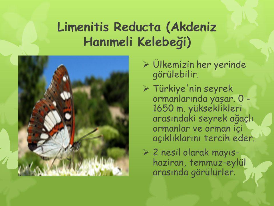 Limenitis Reducta (Akdeniz Hanımeli Kelebeği)  Ülkemizin her yerinde görülebilir.
