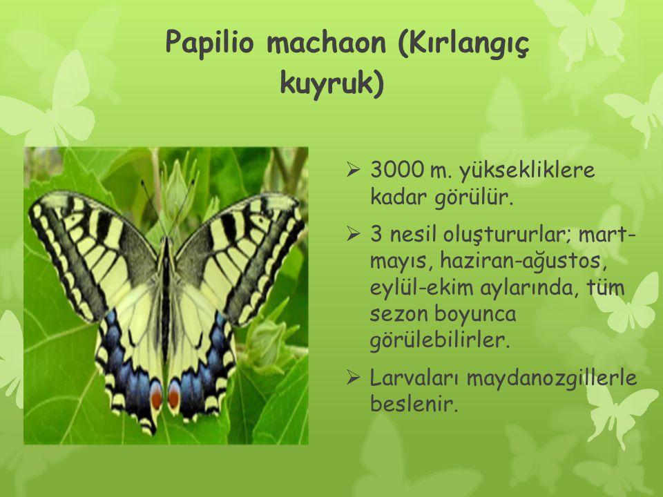 Papilio machaon (Kırlangıç kuyruk)  3000 m.yüksekliklere kadar görülür.
