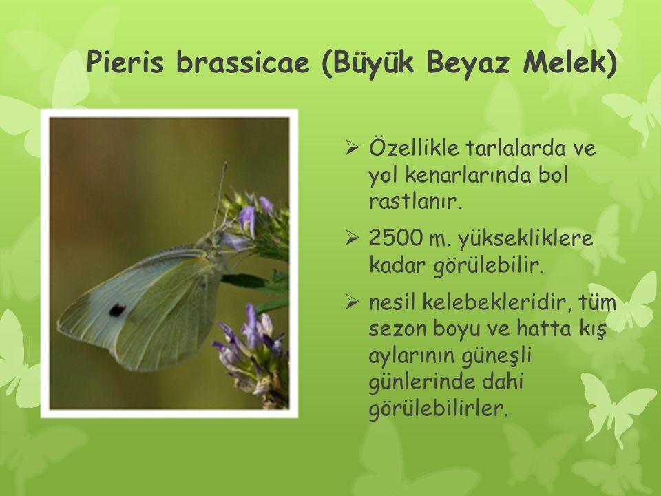 Pieris brassicae (Büyük Beyaz Melek)  Özellikle tarlalarda ve yol kenarlarında bol rastlanır.