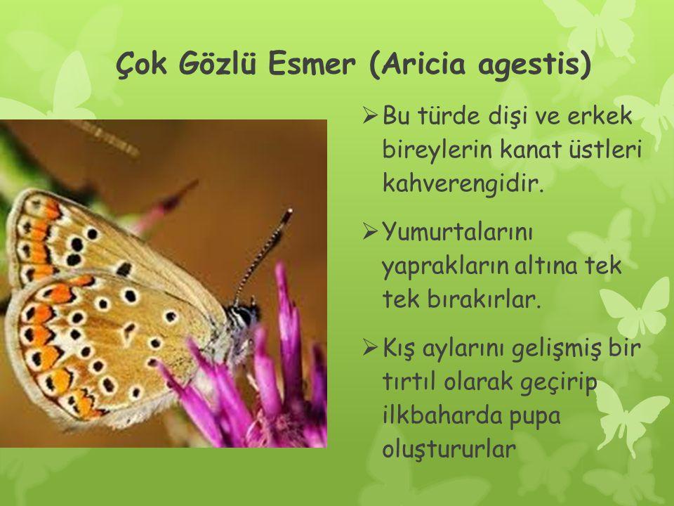 Çok Gözlü Esmer (Aricia agestis)  Bu türde dişi ve erkek bireylerin kanat üstleri kahverengidir.