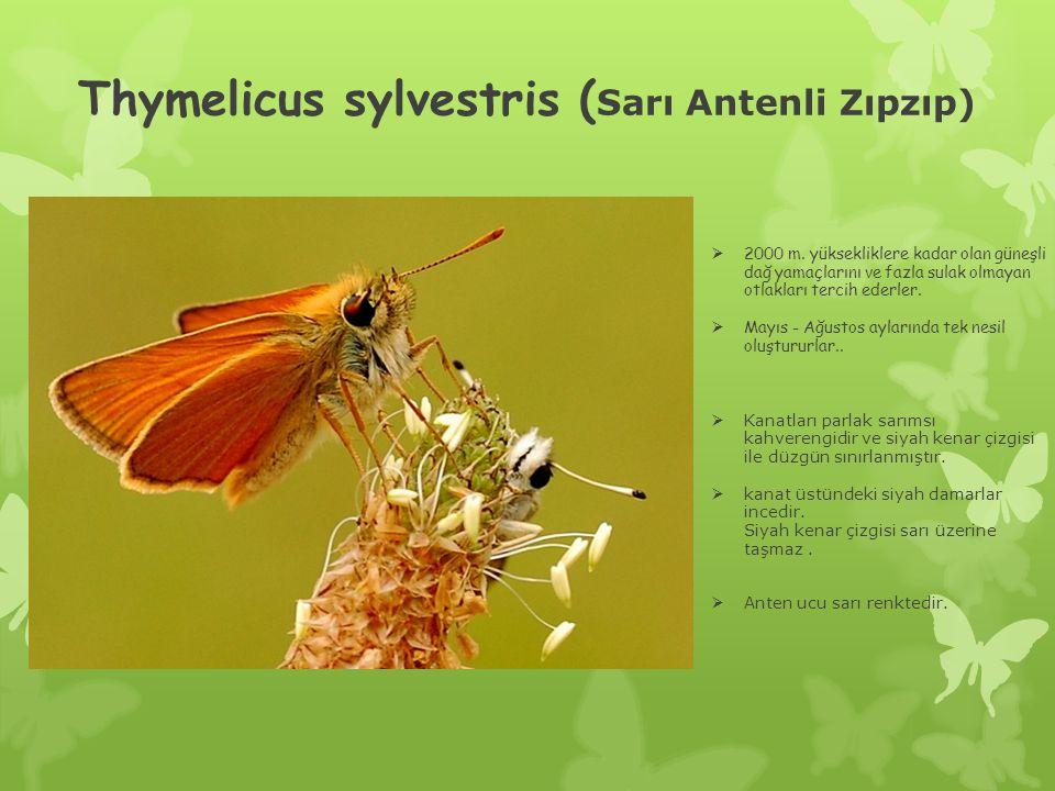 Thymelicus sylvestris ( Sarı Antenli Zıpzıp)  2000 m.