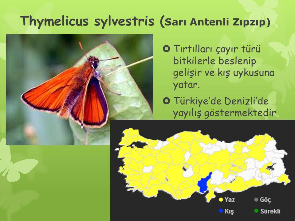 Thymelicus sylvestris ( Sarı Antenli Zıpzıp)  Tırtılları çayır türü bitkilerle beslenip gelişir ve kış uykusuna yatar.