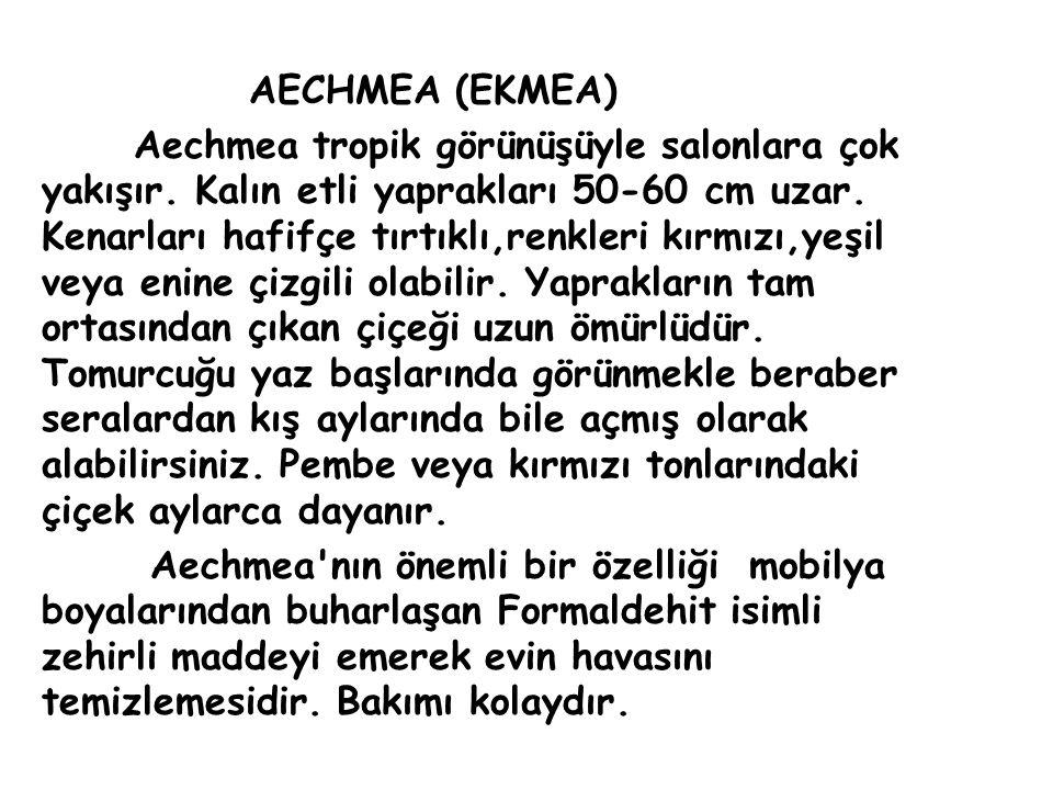 AECHMEA (EKMEA) Aechmea tropik görünüşüyle salonlara çok yakışır.