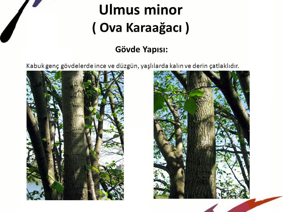 Ulmus minor ( Ova Karaağacı ) Gövde Yapısı: Kabuk genç gövdelerde ince ve düzgün, yaşlılarda kalın ve derin çatlaklıdır.