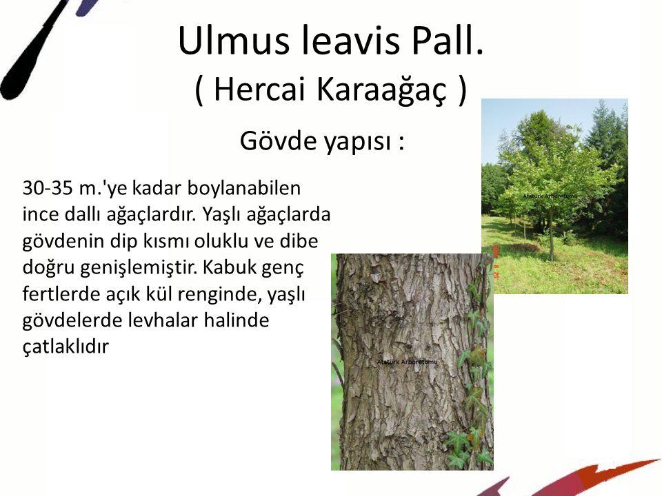 Ulmus leavis Pall.