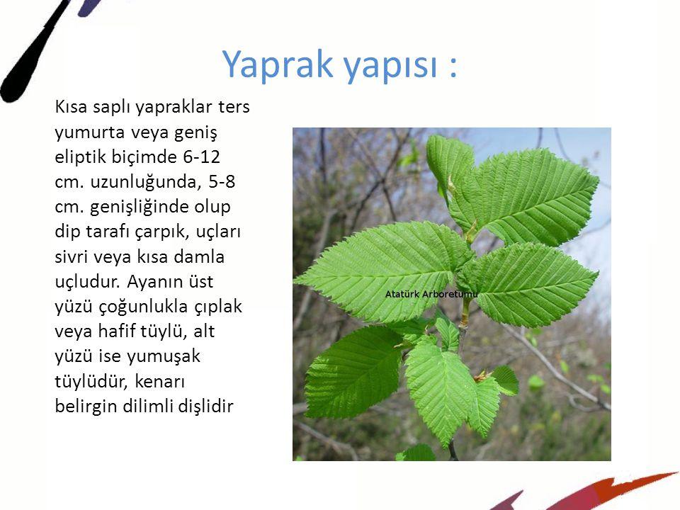 Yaprak yapısı : Kısa saplı yapraklar ters yumurta veya geniş eliptik biçimde 6-12 cm.