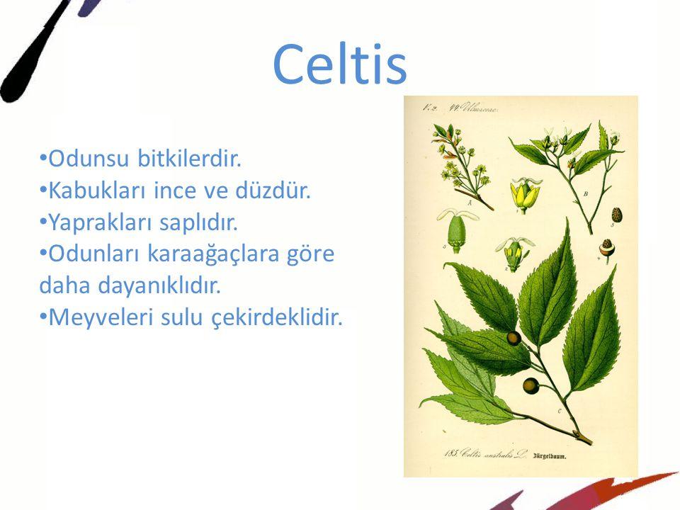 Celtis Odunsu bitkilerdir.Kabukları ince ve düzdür.