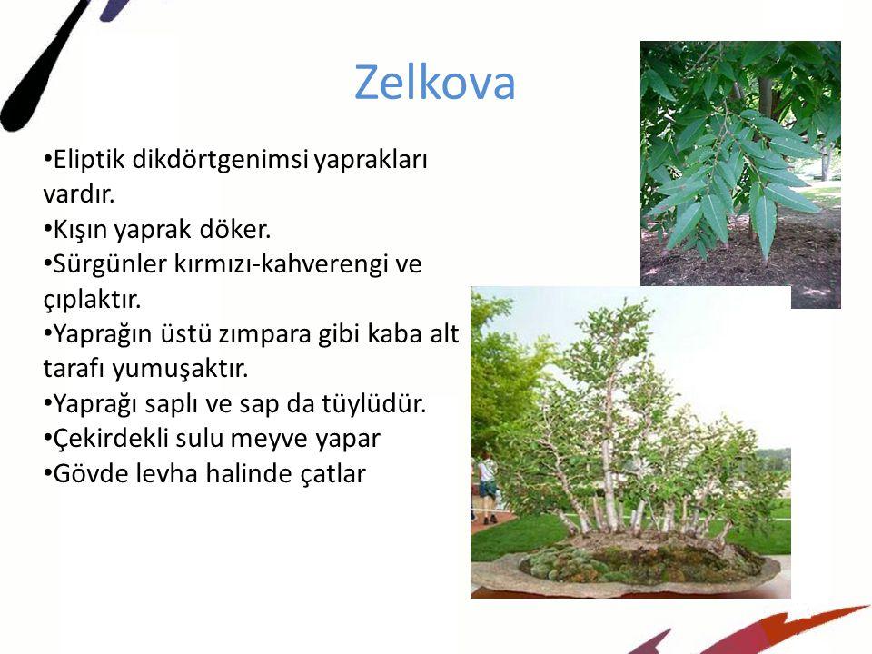 Zelkova Eliptik dikdörtgenimsi yaprakları vardır.Kışın yaprak döker.