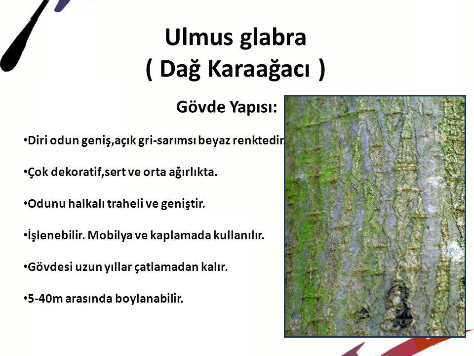 Ulmus glabra ( Dağ Karaağacı ) Gövde Yapısı: Diri odun geniş,açık gri-sarımsı beyaz renktedir.