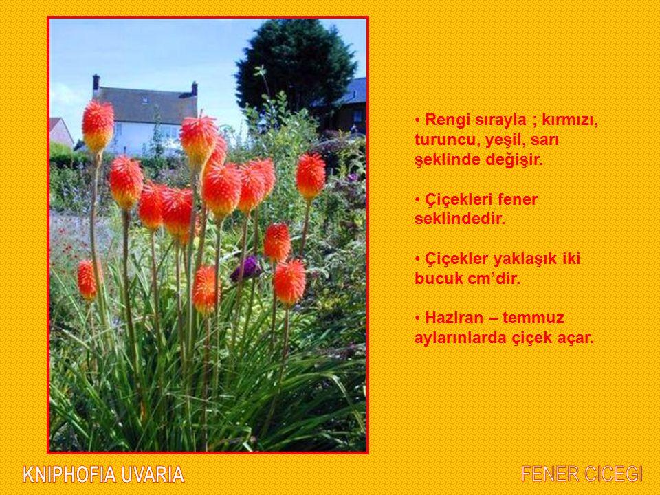 Rengi sırayla ; kırmızı, turuncu, yeşil, sarı şeklinde değişir. Çiçekleri fener seklindedir. Çiçekler yaklaşık iki bucuk cm'dir. Haziran – temmuz ayla