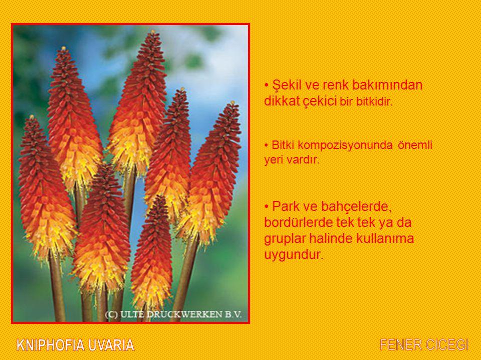 Şekil ve renk bakımından dikkat çekici bir bitkidir. Bitki kompozisyonunda önemli yeri vardır. Park ve bahçelerde, bordürlerde tek tek ya da gruplar h