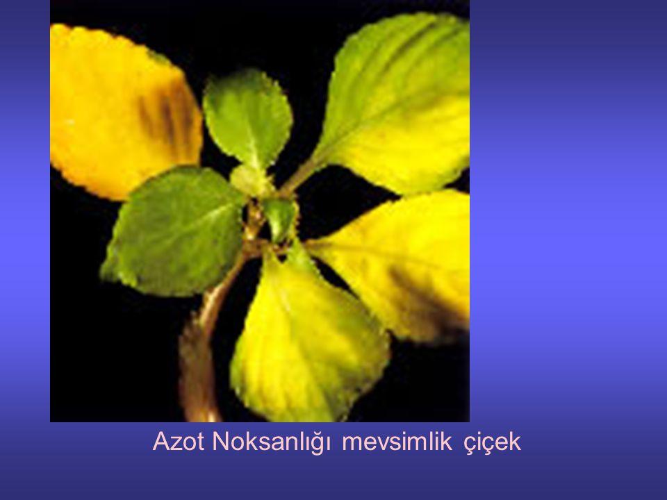 Azot Noksanlığı mevsimlik çiçek