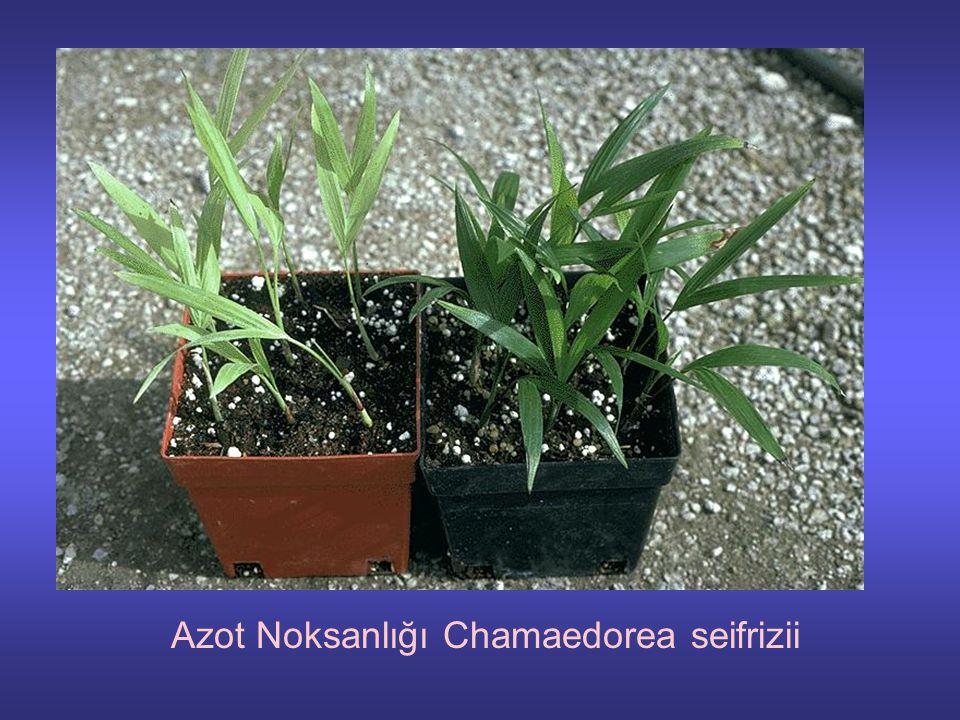 Azot Noksanlığı Chamaedorea seifrizii