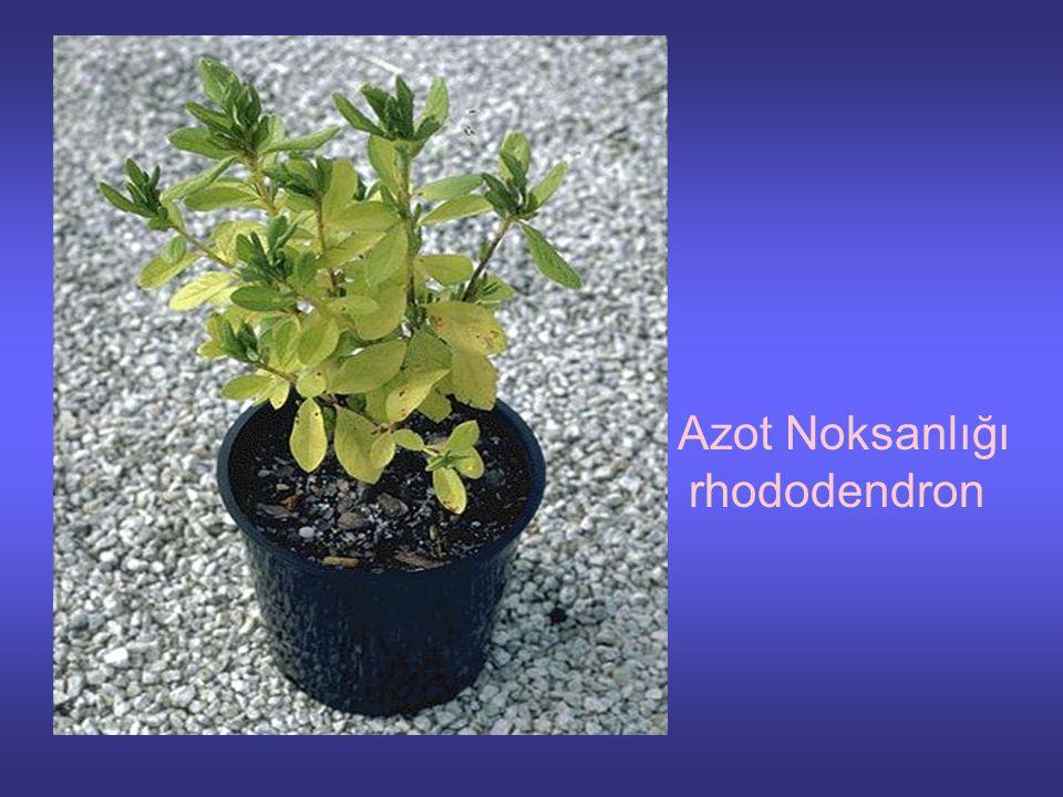 Azot Noksanlığı rhododendron