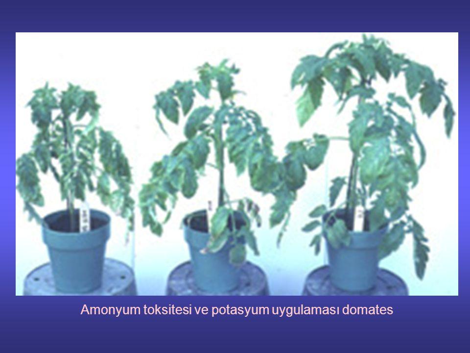 Amonyum toksitesi ve potasyum uygulaması domates