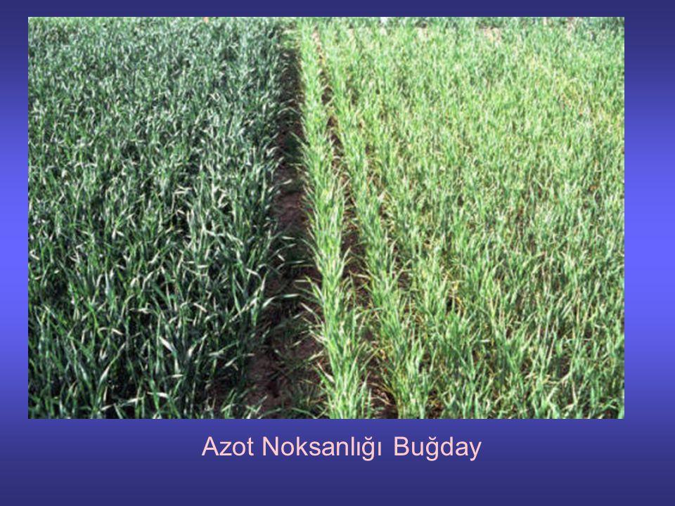 Azot Noksanlığı Buğday