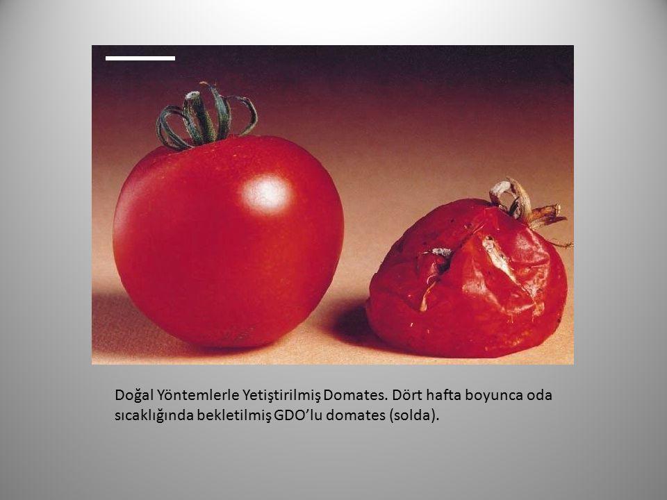 Doğal Yöntemlerle Yetiştirilmiş Domates. Dört hafta boyunca oda sıcaklığında bekletilmiş GDO'lu domates (solda).